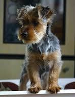 silky terrier hair cut terriers dog breeds in the terrier group