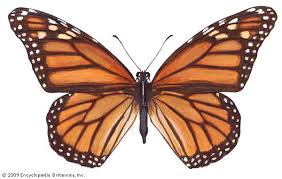 monarch butterfly cycle caterpillar migration facts