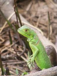 imágenes de iguanas verdes por primera vez en chiapas son liberadas mil iguanas verdes para