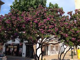 tree with purple flowers what is the name of this tree with purple flowers snaplant