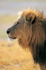 imagenes de leones salvajes gratis banco de imagenes gratis animales salvajes 16 fotografías en alta