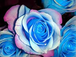 Blue Roses For Sale Roses 24 Pics