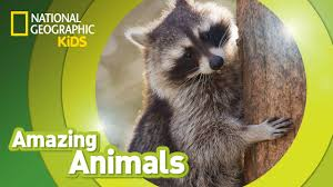 raccoon amazing animals youtube
