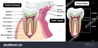 Neck Cross Sectional Anatomy Vector Human Tooth Cross Section Anatomy Stock Vector 530881282