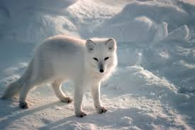 arctic fox lessons tes teach