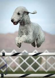 bedlington terrier stud 53 best puppy u0027s images on pinterest english bull terriers