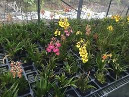 orchids for sale tolumnia hybrid orchid plant sale also known as equiton orchids