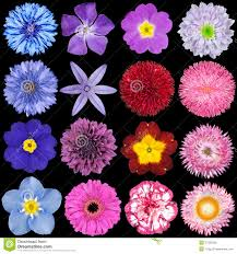 blue and purple flowers various pink blue and purple flowers stock photo image