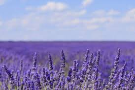 Most Fragrant Lavender Plant - the difference between lavender u0026 culinary lavender home guides