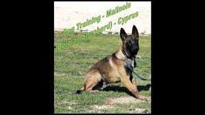 training a belgian sheepdog dog training video 1 malinois belgian shepherd cyprus