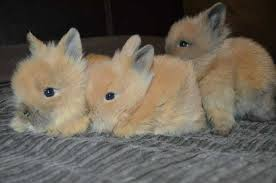 lion heads for sale rabbits page 3 for sale ads free classifieds