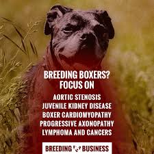 boxer dog 3 weeks pregnant breeding boxers u2014 introduction to better boxer breeding