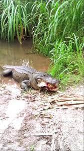 Alligator Meme - alligator eats a huge turtle youtube