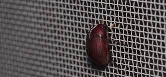 asiatic garden beetle pest identification for vegetable gardens