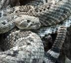 Western Diamondback Rattlesnake | Sensational Serpents sensationalserpents.com