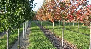 purkey s nursery inc ornamental trees