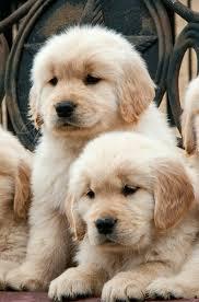 Comfort Retrievers For Adoption Best 25 Mini Golden Retriever Ideas On Pinterest Golden