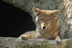 Coyote In My Backyard The Meaning And Symbolism Of The Word Coyote