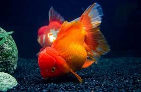 ornamental fish culture apk free lifestyle app for