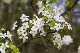 why you shouldn t plant a bradford pear mnn nature network