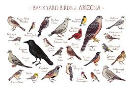 Arizona Birds images Backyard birds of arizona field guide art print handmade jpg