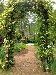 yellow lady banks climbing rose diy garden pinterest gardens