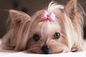 dog ribbon dog pink ribbon image 244717 on favim