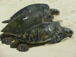 life cycle of a sea turtle u2014 see turtles