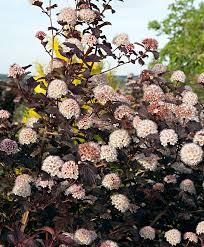 buy ornamental shrubs now common ninebark in bakker