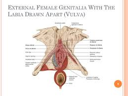 Female Sexual Anatomy Pictures Slides And Notes For