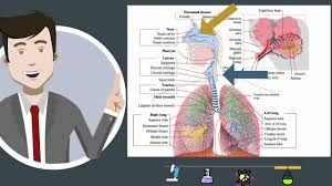 respiratory system parts and function youtube