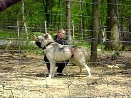 belgian shepherd timberwolf timberwolf youtube