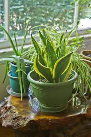 Home Interior Plants by Hard To Kill Houseplants U2013 Learn About Low Maintenance Plants Indoors