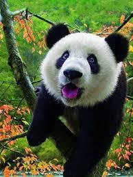 Panda Meme Mascara - cool 26 panda meme mascara wallpaper site wallpaper site