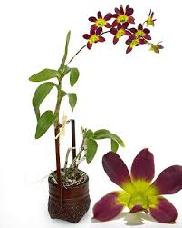 dendrobium orchid dendrobium orchid care the important points