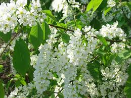 tree with white flowers free photo bloom white flowers tree bird cherry tree max