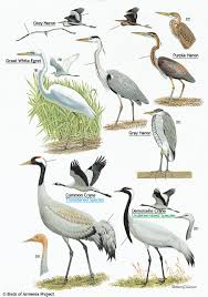 plate 3 herons egret and cranes a field guide to birds of