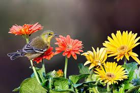 Florida Backyard Birds - pine warbler audubon field guide