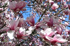 reed s garden ramblings an amazing for magnolias in new
