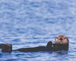 top 5 places to spot sea otters in monterey county