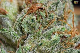 marijuana trichomes trichomes from yodas brain og nugs marijuana blog thc finder