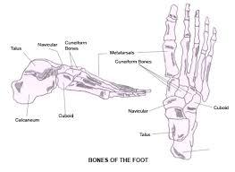 Anatomy Of A Foot Tag Human Foot Anatomy Archives Human Anatomy Charts