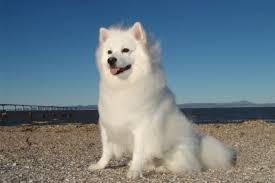 american eskimo dog poodle mix american eskimo dog temperament u0026 personality