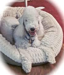 grooming a bedlington terrier puppy 314 best bedlington terriers rock images on pinterest
