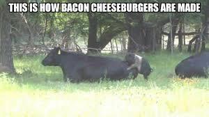 Cow Memes - brown chicken brown cow meme by jason101 memedroid