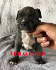 ukc american pitbull terrier view ad american pit bull terrier puppy for sale washington
