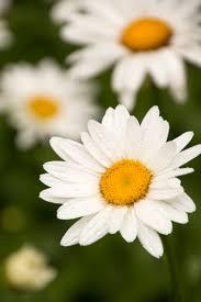 becky shasta daisy monrovia becky shasta daisy