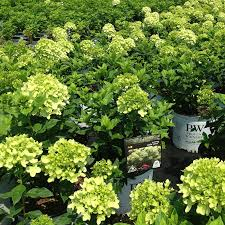 maple valley nursery wholesale trees plants and shrubs