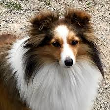 south dakota australian shepherd rescue available mini toy akc sheltie shetland sheepdog puppies