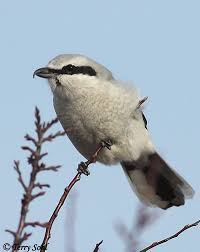 South Dakota birds images Northern shrike south dakota birds and birding jpg